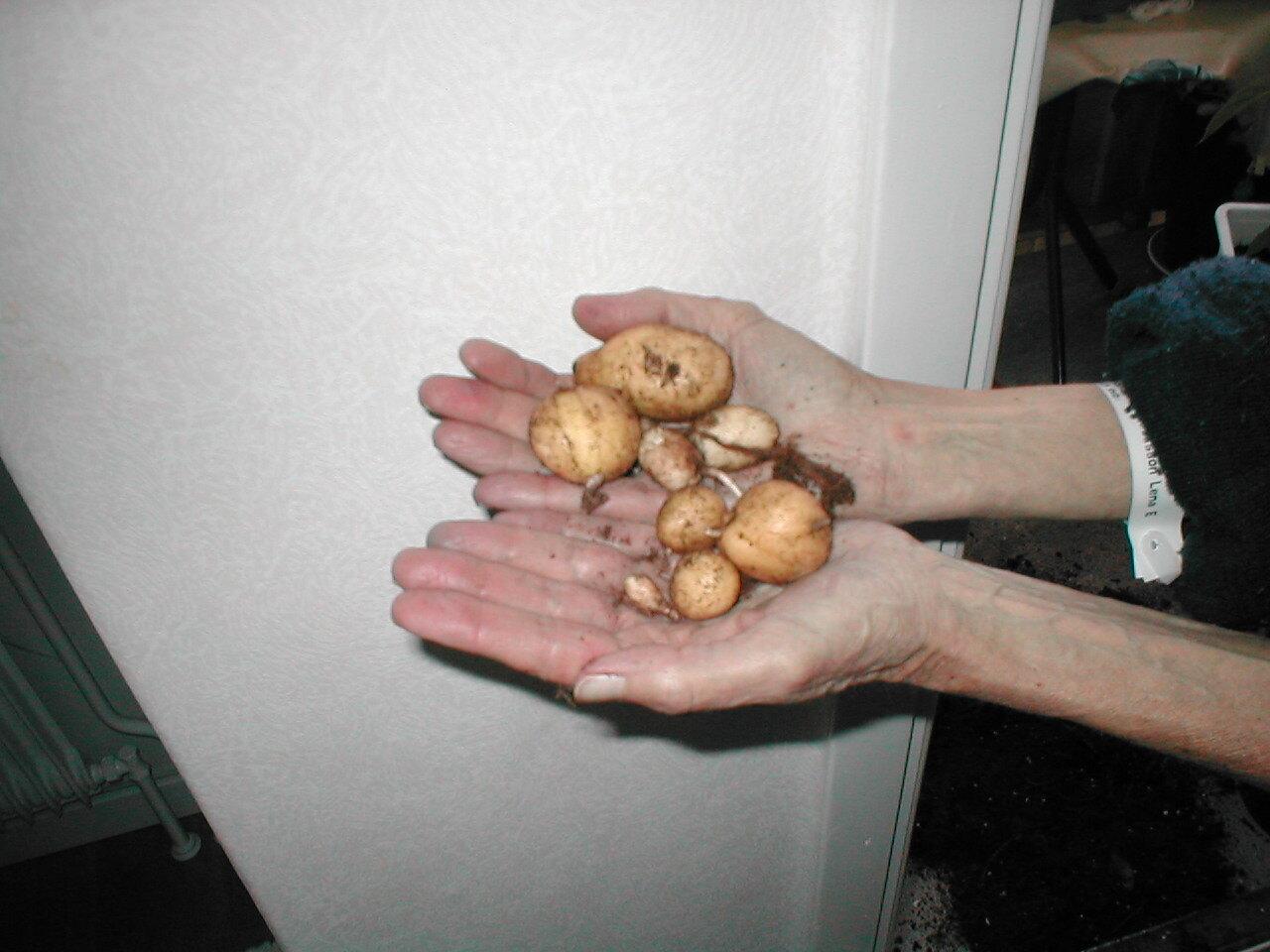 Smutsig potatis