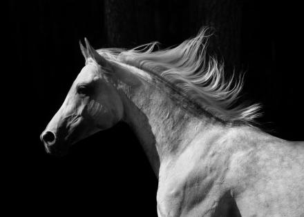 Gray Arab Stallion Fototapeter & Tapeter 100 x 100 cm