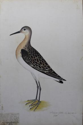 Blad Fågelboken Rudbeck Vadare