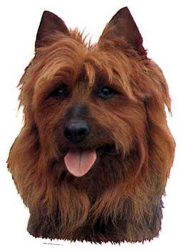Hunddekal - Australisk terrier (huvud)