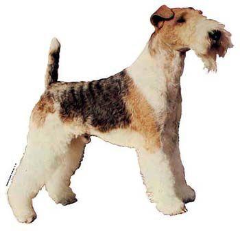 Hunddekal - Foxterrier strävhårig (hel)