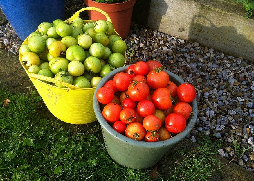 A tale of harlequins & tomatoes