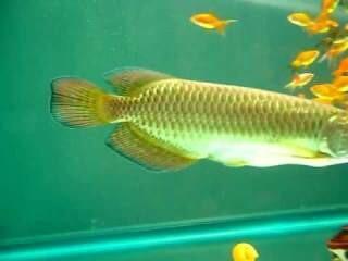 kvalitet Arowana fiskar och andra fiskar till salu på billigare priser!