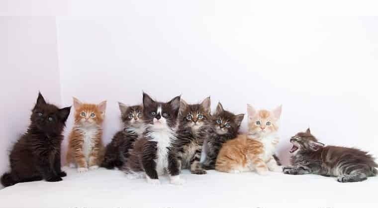 = ^ .. ^ = Charmig Maine Coon kattungar med stamtavla = ^ .. ^ =