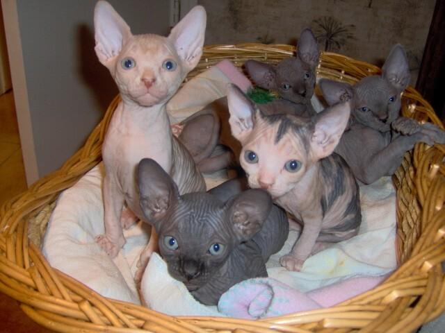 sphynx kattungar tillgängliga