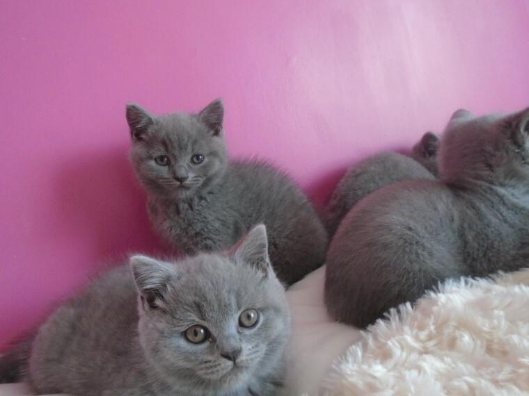Brittiskt korthår kattungar