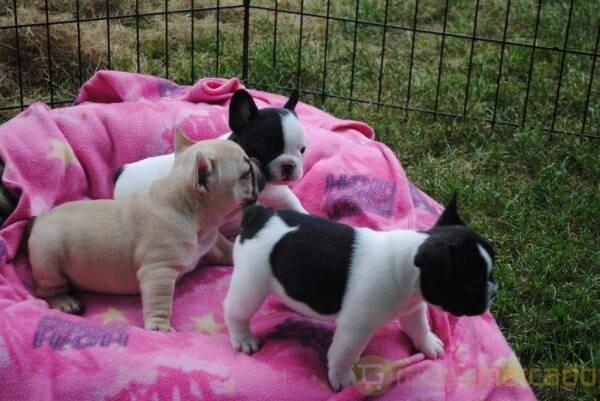 fransk bulldog valpar