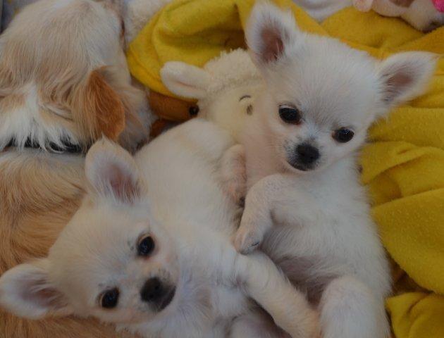 Renrasiga Chihuahua valpar