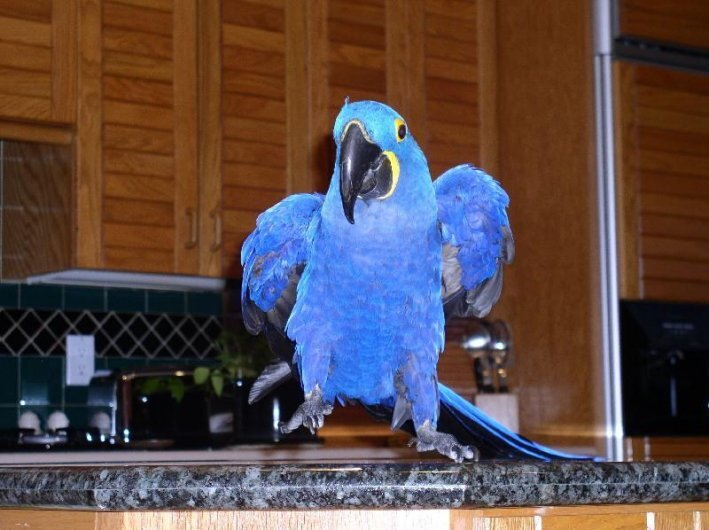 talar hyacint ARA papegoja för antagande
