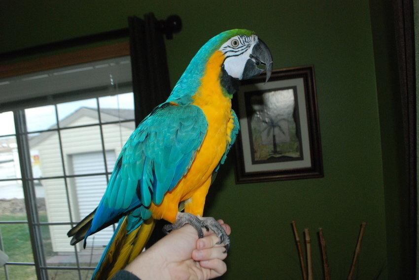 Ung manlig papegoja.