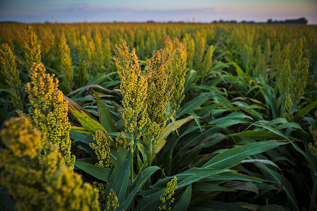 What can we make with Millet in the United States?
