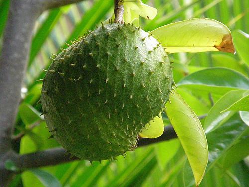 Hihetetlen felfedezés: a gyümölcs, amely elpusztítja a rákot és 10.000-szer hatásosabb, mint a kemoterápia