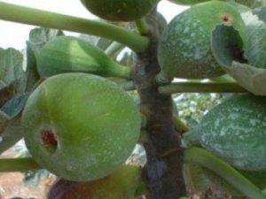 Doce de figo