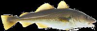 Bacalhau Fresco