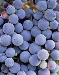 Conhecendo o Vinho Parte III - Tipos de Uva - Vinhos Tintos