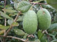 The Abundance of Feijoas - Poached Feijoas