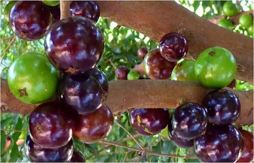 Os Benefícios da Jabuticaba!  Jabuticaba é uma das fontes mais poderosas de antioxidantes.Leia!