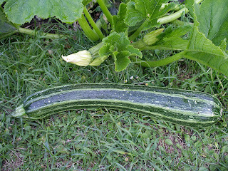 Take 1 over-grown zucchini - make a 3 course meal
