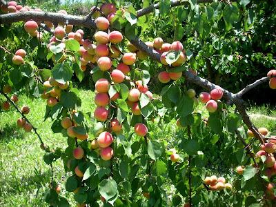 Apricots an orange jam