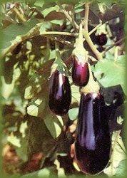Berinjela, um vegetal muito versátil