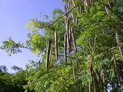 Moringa oleífera – A árvore milagrosa