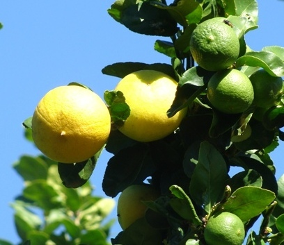 Meu limão, meu limoeiro