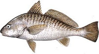 corvina assada inteira