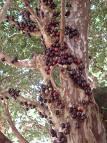 como fazer vinho tinto de jabuticaba