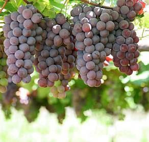 geleia de uva com casca