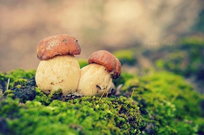 Las setas de los bosques de Canarias y algunos consejos para salir al monte a recolectarlas