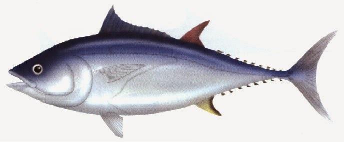 como fazer conserva de atum fresco