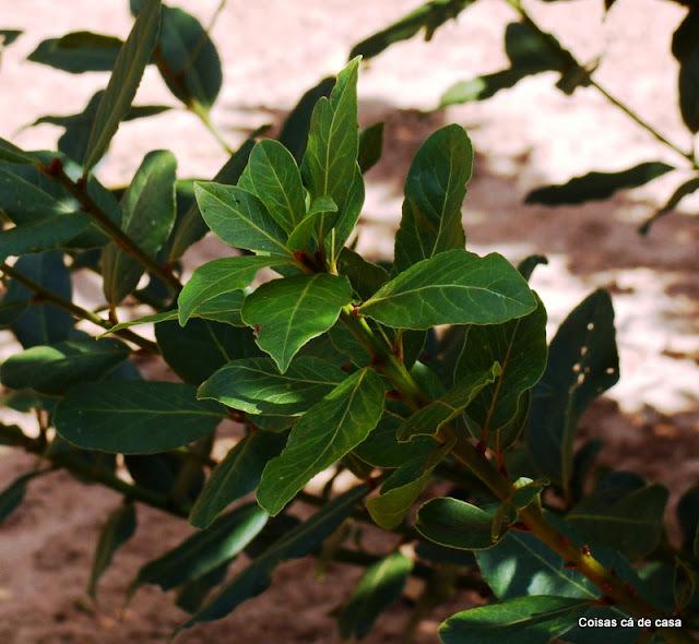 Ervas frescas - Louro