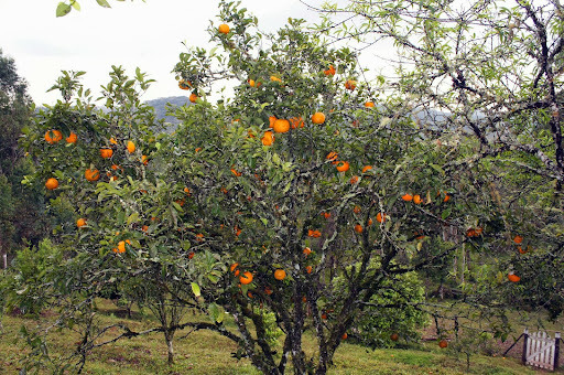 Doce da casca da laranja