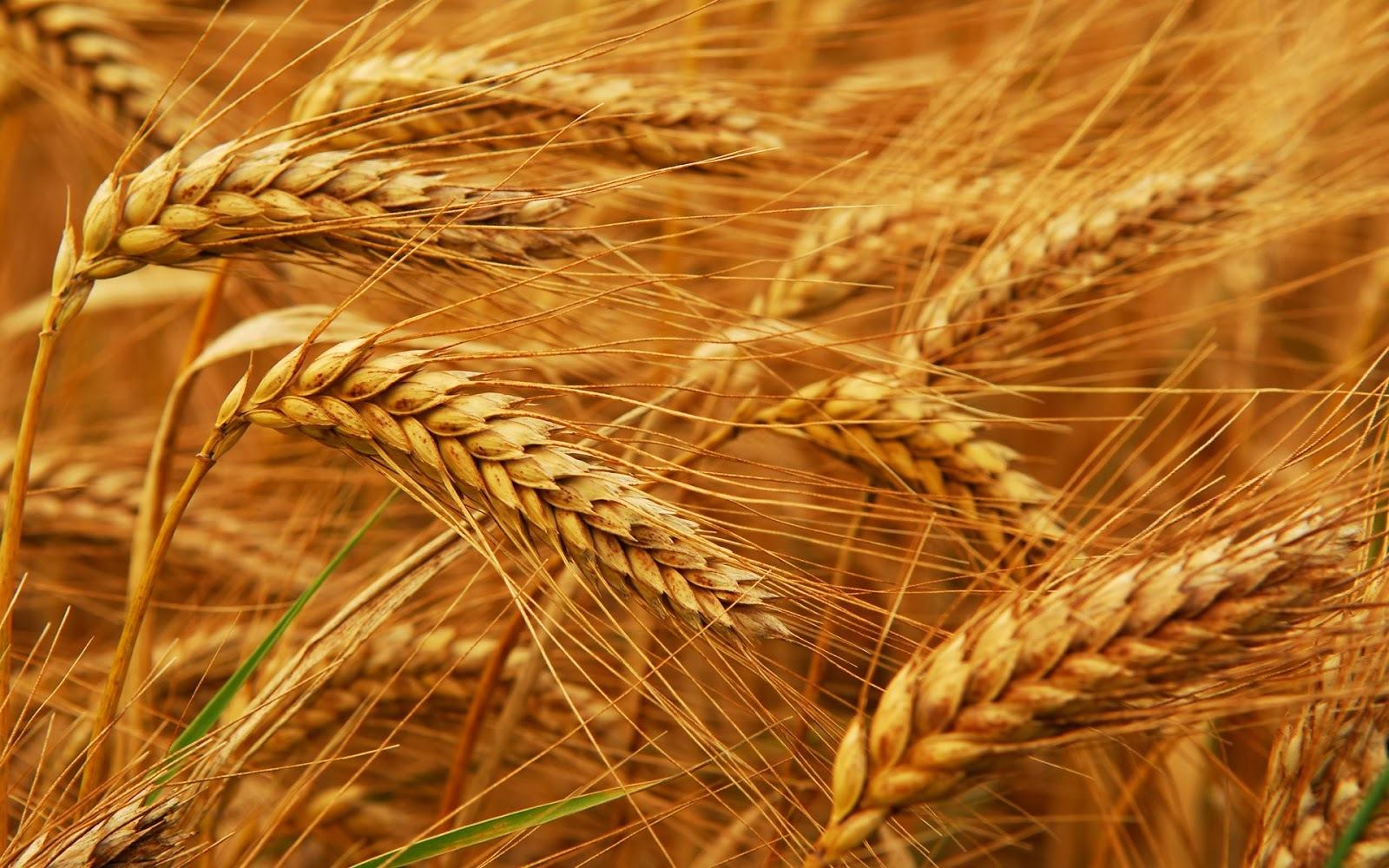 Seriál o obilninách, časť I.: Pšenica