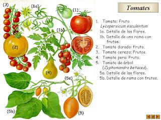 Tomates  - História e Sabores - Post I de II