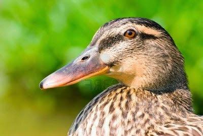 Pato - Curiosidades e Cortes