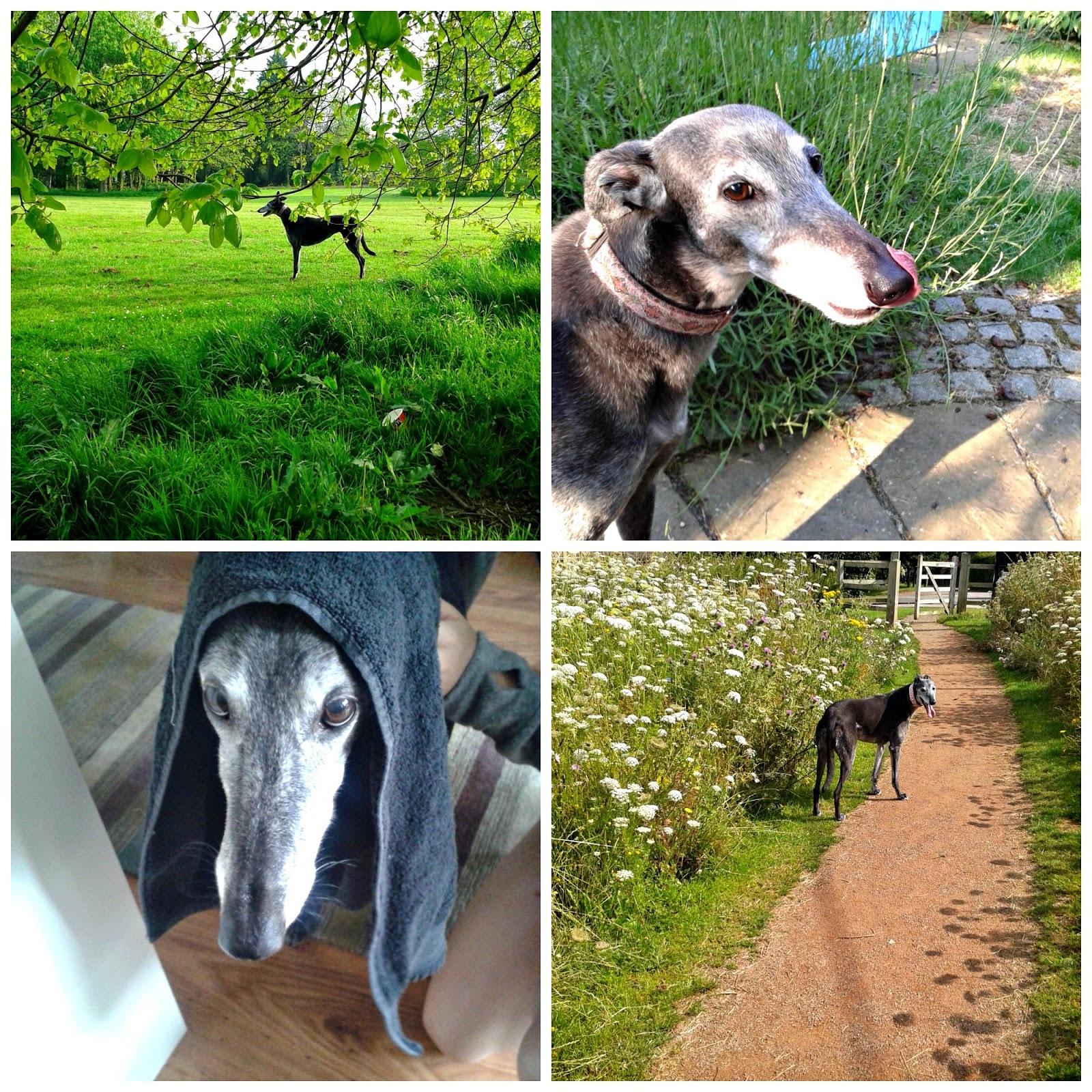 Tessie is ten! Plus 10 reasons to adopt a retired racing greyhound