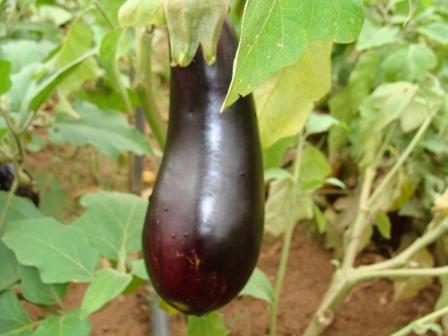 Berinjela (Solanum melongena)