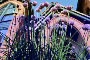 oregano flowering