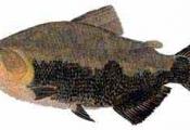 peixe no papel aluminio na brasa gengibre