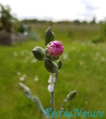 Réponse à la Devinette du Vendredi #11 : Crachats de Coucou et Cicadelles Écumeuses sur les Plantes de mon Jardin