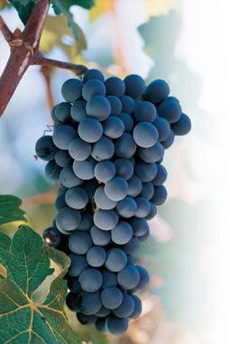 Lomo en Salsa de uva Isabella con ensalada de uchuvas