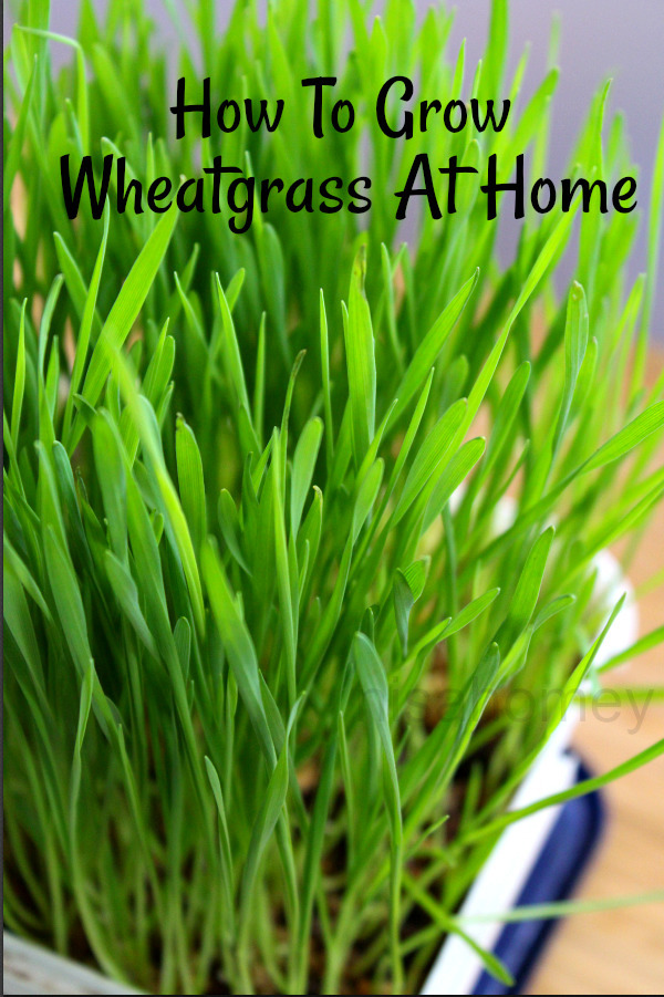 Wheatgrass - How To Grow Wheatgrass At Home