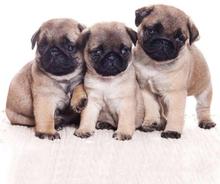 Hunde servietter 3 mops hvalpe.