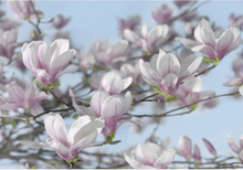 Komar Fototapet Magnolia 368x254 cm 8-738