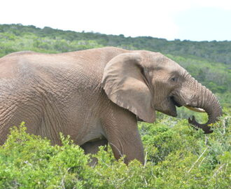 Sydafrika 2: Addo Elephant National Park