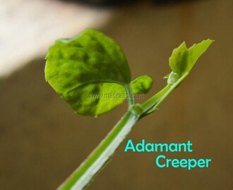 Pirandai / Adamant Creeper – How to grow, health benefits and cook with Pirandai