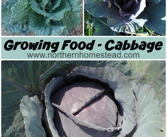 Growing Food – Cabbage