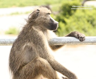 Chacma Baboon in Deep Thought