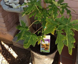 Growing Papaya in a Container in Northern California